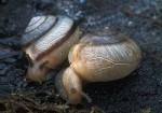 asian-tramp-snail