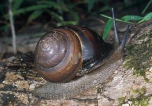 Fraser's Banded Snail