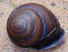 frasers-land-snail