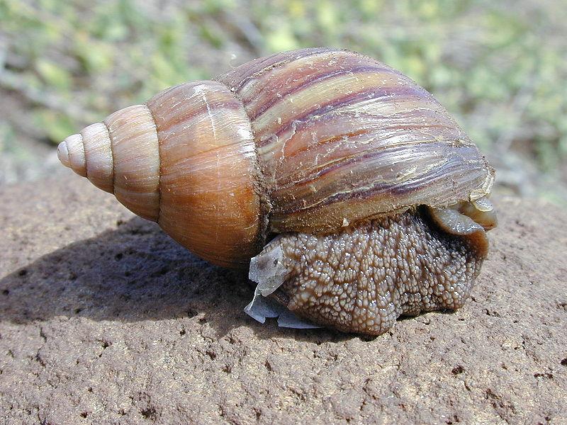 Giant Snails Facts About Snails