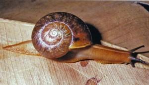 Glossy Turban Carnivorous Snail