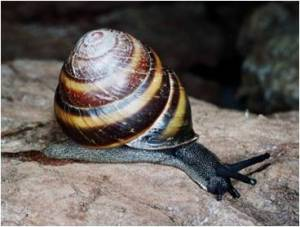 P1 Mitchells Rain Forest Snail