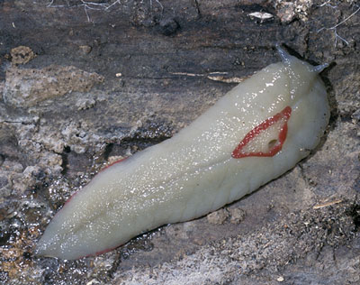 red-triangle-slug