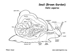 Snail brain graphic