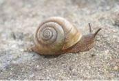 Carnarvon Station snail
