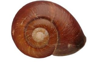 Pedinogrya rotabilis
