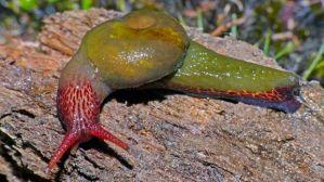 attenborougharin-rubicundus