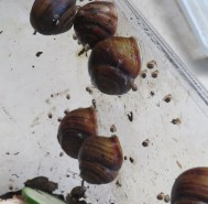 Snail babies Hummock March 2020